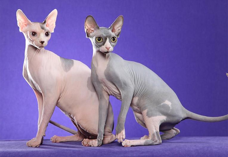 Сфінкси - порода котів