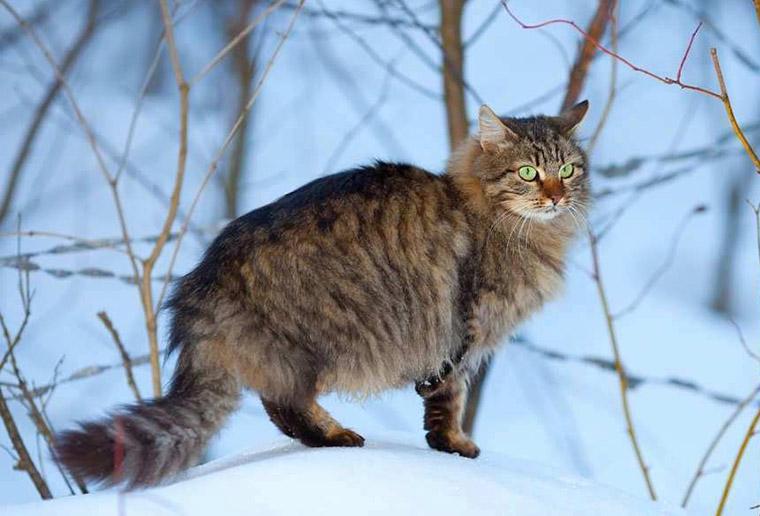 Порода - сибірський кіт