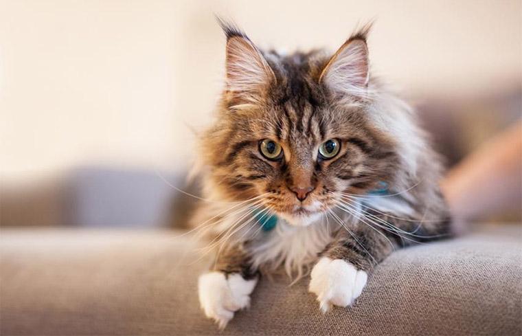 Мейн-кун - найбільша порода котів у світі
