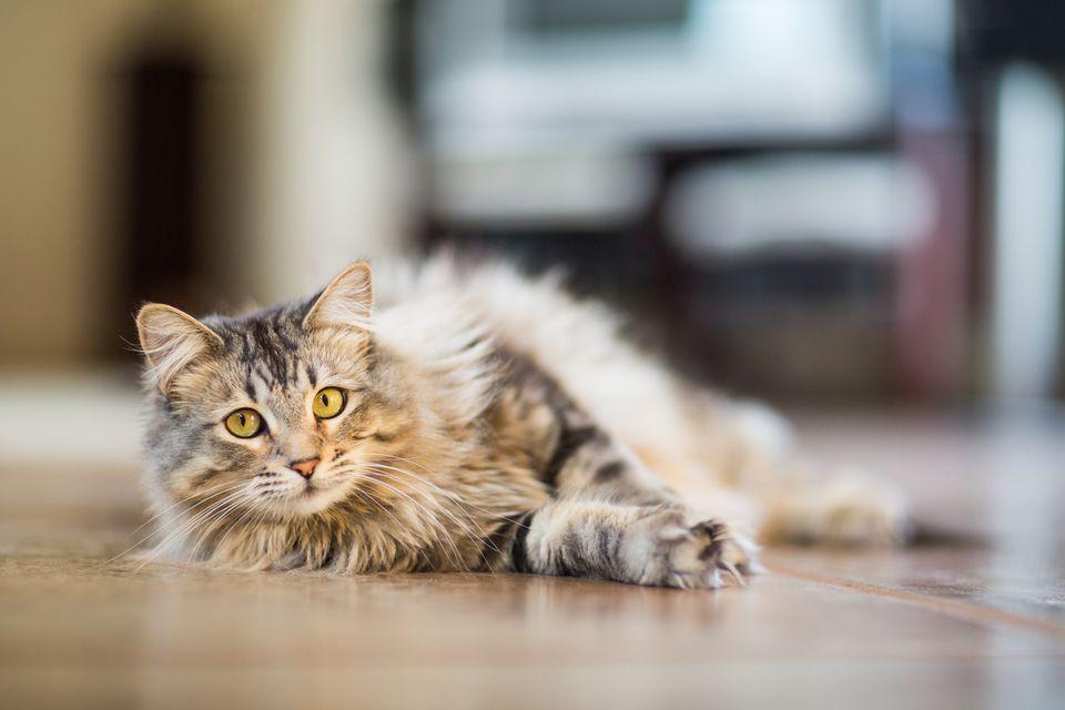 Найрозумніші коти світу