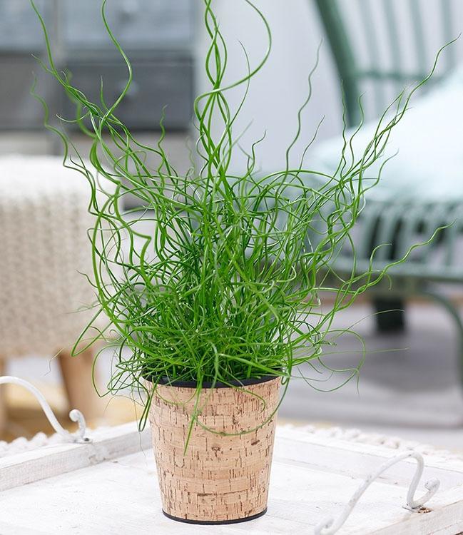 Спіральна трава фото