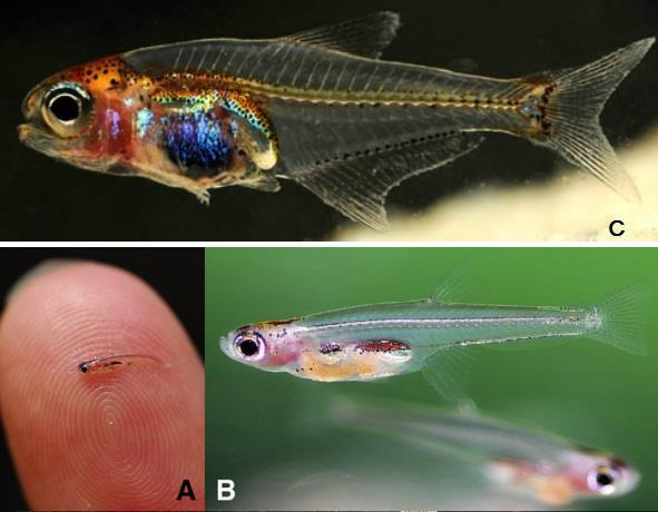 Paedocypris progenetica - найменша рибка у світі.