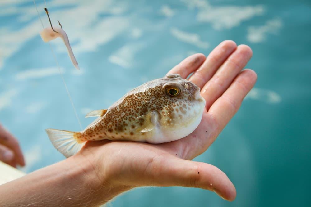 Японська риба фугу