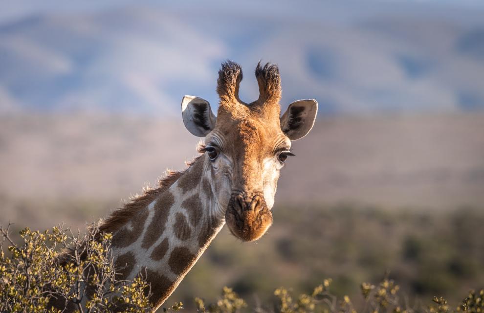 Жираф у саванні