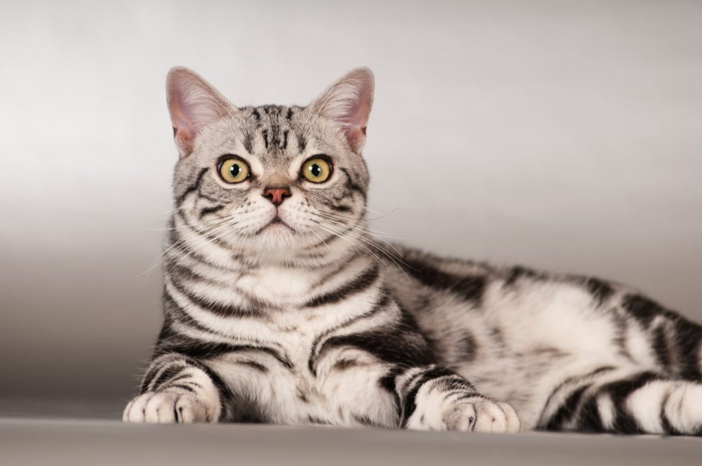 Американська короткошерста кішка фото
