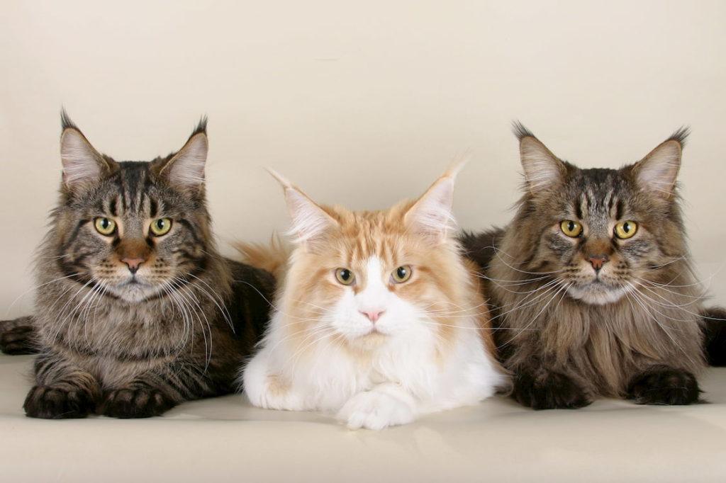 """Коти породи """"мейн-кун"""""""