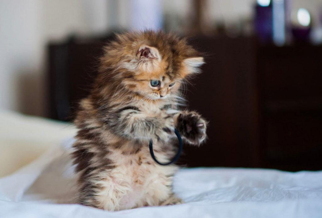 Популярні породи котів