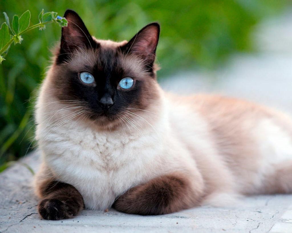 Сіамська кішка