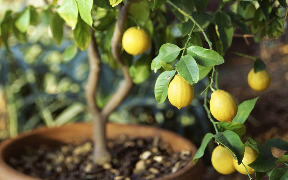 Домашній кімнатний лимон