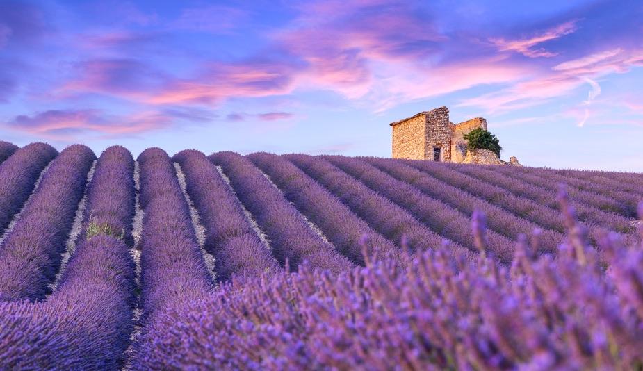 Лавандові поля у Провансі