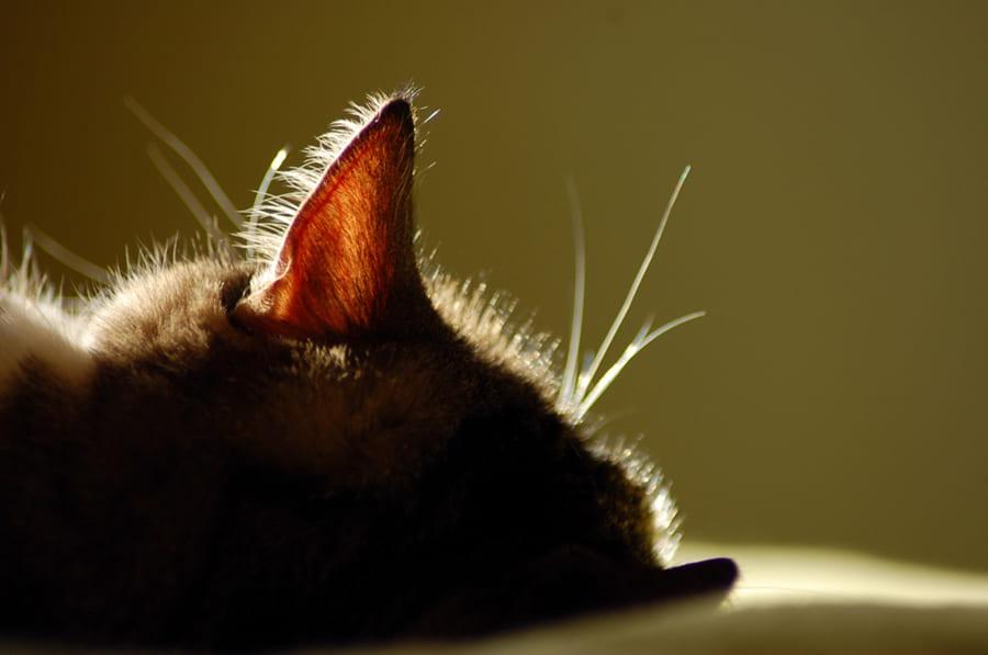 Цікаві факти про кошачі вуха